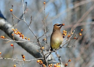 Cedar Waxwing, holly