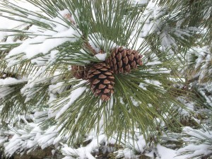Pine at Main Street Landscape