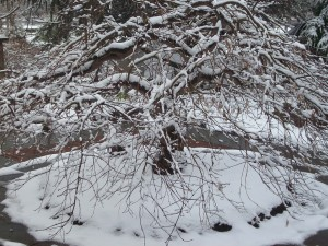 Snow covered Japanese Maple
