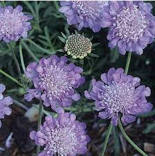 Scabiosa columbaria, 'Butterfly Blue'