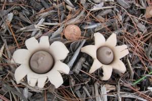 earth star mushroom